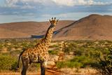 Giraffe in the Kalahari Photographic Print by Dominic Cram
