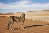 Cheetah in Desert Environment. Photographic Print by Martin Harvey