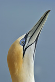 Australasian Gannet Photographic Print by David Tipling