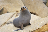 New Zealand Fur Seal, Arctocephalus Forsteri, Photographic Print by Raimund Linke