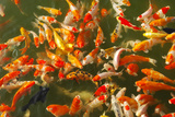 Colorful Koi or Carp Chinese Fish in Water Photographic Print by  kenny001