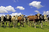 Group of Cows in a Field Photographic Print by Scott E Barbour