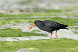 Black Oystercatcher Photographic Print by David Tipling