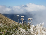 Frozen Flowers, Kepler Track, New Zealand Photographic Print by Cathie Bell