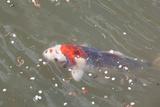 Japanese Koi Reproduction photographique par  DR_Flash