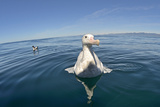 Wandering Albatross Photographic Print by David Tipling