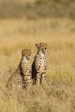 Cheetahs, Kalahari Desert, Botswana. Photographic Print by Michele Westmorland