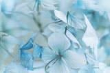 Hydrangea Flowers Photographic Print by Jill Ferry