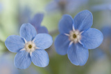 Forget-Me-Not Flowers Photographic Print by Jill Ferry