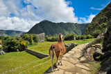 Lama at Machu Picchu Photographic Print by Jose Antonio Maciel