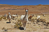 Llama (Lama Glama) Photographic Print by Juergen Ritterbach