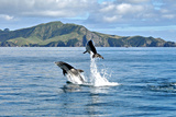 Dolphins in the Bay of Islands Photographic Print by Steve Clancy Photography