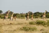 Giraffe Herd, Botswana. Photographic Print by Michele Westmorland