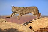 Bobcat Photographic Print by Tier Und Naturfotografie J und C Sohns