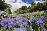 Trebah Garden Hydrangeas Summer Lámina fotográfica