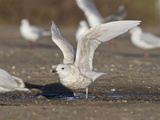 Iceland Gull 2nd Winter Vagrant Taking Off Photographic Print