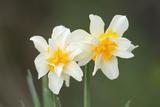 Daffodil Garden Escape Growing Wild - Fotografik Baskı