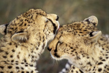Cheetah Two Showing Affection Photographic Print
