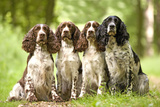 English Springer Spaniel Four Sitting in Row Photographic Print