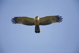 Crested Honey Buzzard in Flight Reproduction photographique
