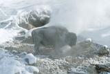 American Buffalo Standing In Fotografisk trykk