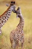 Maasai Giraffe Mother Sucking Youngos Ear Photographic Print