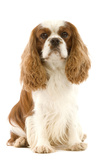 Cavalier King Charles Spaniel Photographic Print