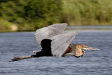 Goliath Heron in Flight Photographic Print by Augusto Leandro Stanzani