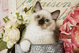 Ragdoll Seal Kitten Photographic Print