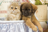 Persian Kitten with Tibetan Spaniel Puppy Photographic Print