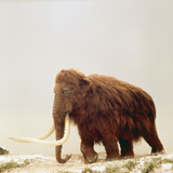 Woolly Mammoth Prehistoric Reconstruction Photographic Print by Arthur Hayward
