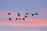 Greylag Geese Group in Flight at Sunset Reproduction photographique