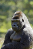 Western Lowland Gorilla Silverback Male Photographic Print