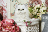 Persian Chinchilla Kitten Photographic Print