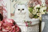 Persian Chinchilla Kitten Photographic Print