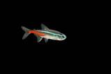 Neon Tetra Fish Photographic Print