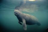 West Indian Manatee Toe Nails Visible Photographic Print