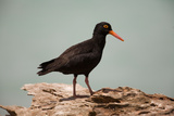 Sooty Oystercatcher an Uncommon Marine Species Reproduction photographique