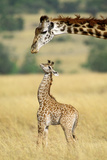 Maasai Giraffe Mother and One Week Old Young Photographic Print