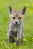 Red Fox Cub Running in Buttercup Meadow Photographic Print