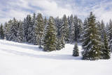 Norway Spruce Forest in Winter Snow Photographic Print