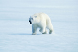 Polar Bear Walking, with Mouth Open Photographic Print
