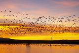 Snow Geese Leaving Roost Site before Dawn Photographic Print
