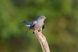 Cuckoo on Flight Perch Photographic Print
