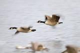 Canada Goose in Flight Photographic Print