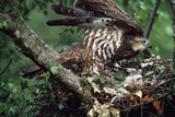 Honey Buzzard at Nest, with Chicks Reproduction photographique