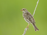Corn Bunting Perched Photographic Print
