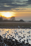 Swans with Ducks and Geese Photographic Print