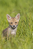 Red Fox Cub Sitting in Meadow Photographic Print