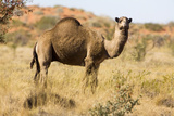 One-Humped Camel Photographic Print